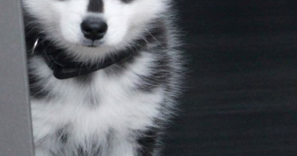 Alaskan Klee Kai Puppy (mini husky) I neeeeeeeeeeeeed it's cute little face