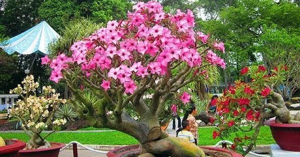 Plumeria Obtusa Bonsai Frangipani Plumeria The Temple Tree Champa Fish Plants Planting Flowers Plants