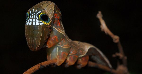 Pink Underwing Moth / Phyllodes imperialis smithersi - aka Skull Caterpillar. Incredibly
