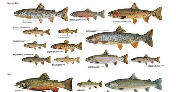 Use These Charts to Confidently ID Trout & Salmon Species ...