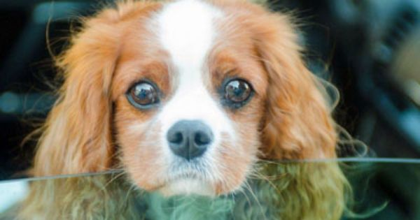 Cavalier Rescue Usa Poppy In Fremont Ca You Could Get Lost In Those Eyes Cavalier King Charles Dog King Charles Dog Cavalier Puppy
