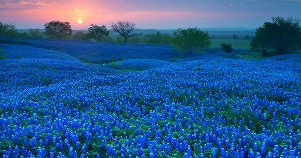 texas bluebonnet landscapes