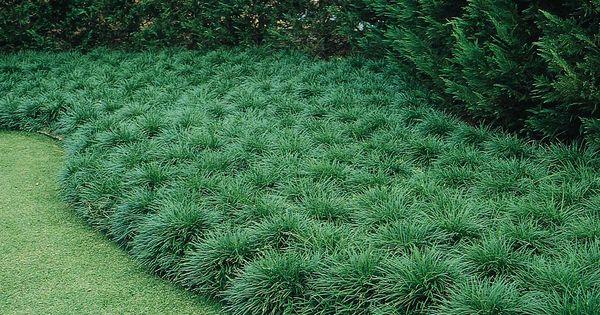 Mondo Grass Monrovia Mondo Grass Zones 6 11 12 Quot 15
