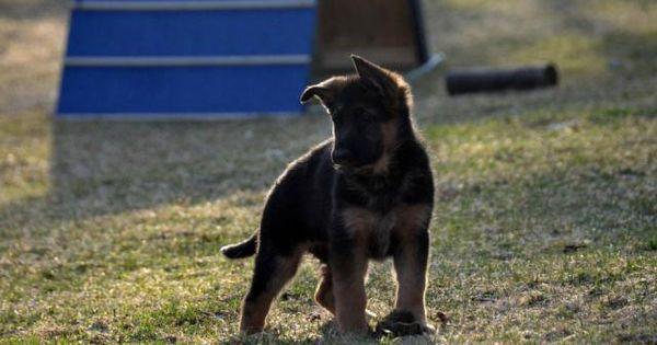 Chiots Berger Allemand à vendre | Outaouais - #chien #