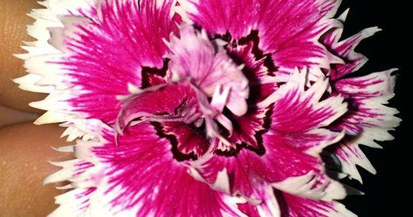 Otra variedad de la flor de la clavelina o clavel chino for Plantas ornamentales clavel