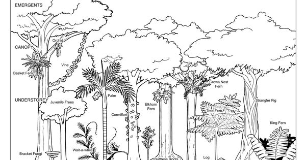 tropical trees worksheet rainforest structure diagram trees and plants pinterest. Black Bedroom Furniture Sets. Home Design Ideas