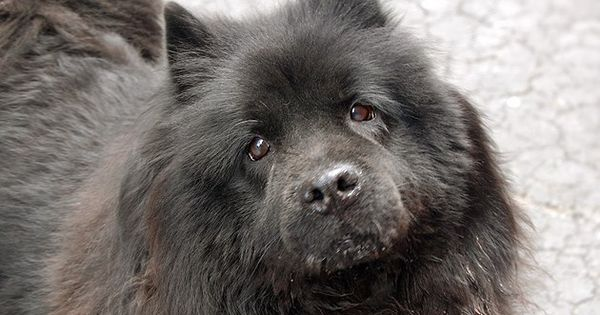 Super Urgent 3 29 13 Manhattan Center Mamas A K A Arizona Id A0960574 Female Black Chow Chow Mix 8 Yrs This Poo Dogs Chow Chow Dog Puppy Chow Chow Dogs
