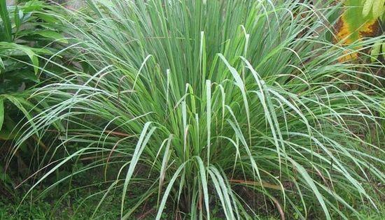 MOSQUITO REPELLING PLANTS: Citronella, Horsemint, Marigolds, Ageratum, Catnip, Lemon Eucalyptus, Cinnamon, Castor,