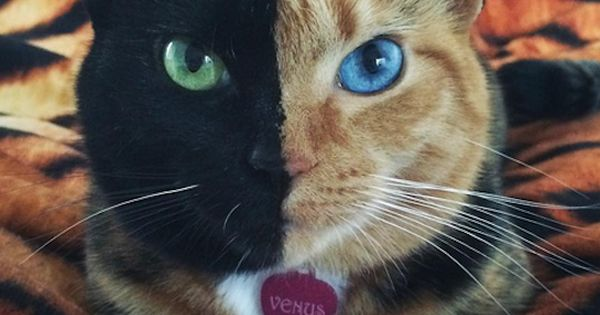 Venus The Two Faced Cat One Half Is Solid Black With A
