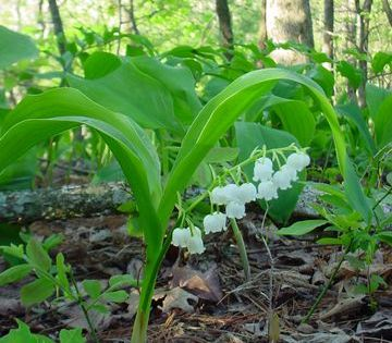Convallaria Majuscule Lily Of The Valley Lily Of The Valley Wild Flowers The Valley