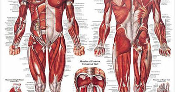 muscular system male anatomy poster physiology poster