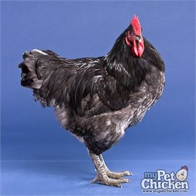Day Old Chicks Blue Black Splash Orpington With Images Day Old Chicks Raising Turkeys My Pet Chicken