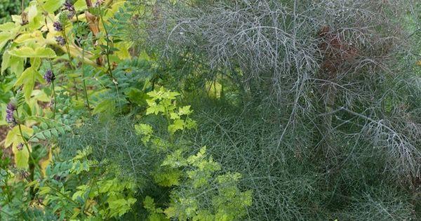 Plant pairing dwblog angelica officinalis foeniculum for Achat plante jardin
