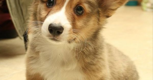 I want a little baby corgi puppy so bad.