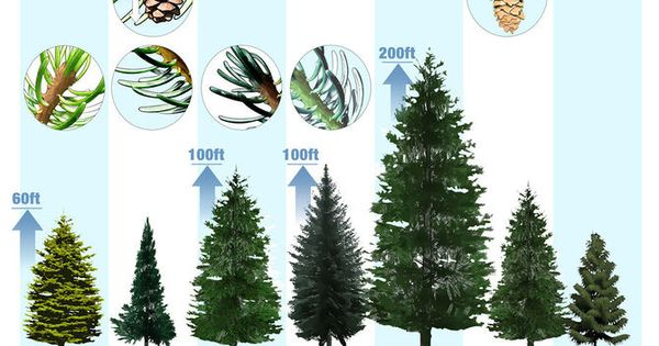 3 Ways To Identify Spruce Trees Wikihow Tree Identification Blue Spruce Tree Types Of Evergreen Trees