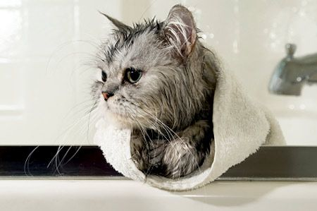 How To Give A Cat A Bath With Images Cat Fleas Cat Care Sick Cat
