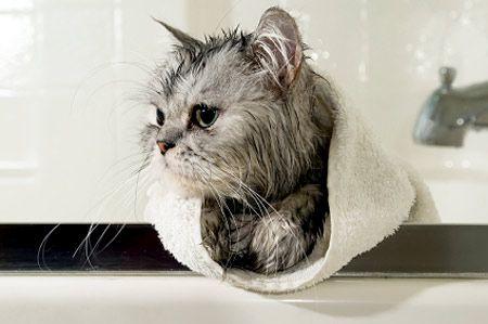 How To Give A Cat A Bath Cat Fleas Cat Care Sick Cat