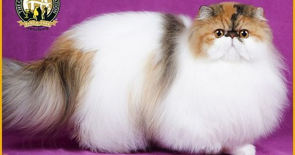 Bi Color Calico Persian Photos Top Cats 2015 16 Cute Cats And Kittens Beautiful Cats Cute Cats