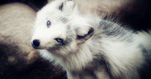 Gorgeous White Fox With Heterochomia Iridum Cute Animals Animals Beautiful Animals Wild