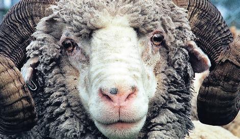 Merino Sheep Breeds Merino Wool The Merino Breed Of Sheep Originated From The Crossing Of Schapen
