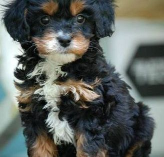 Cavapoo Poodle Cross Breeds Dog Breeds Cute Dogs And Puppies