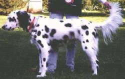 Long Haired Dalmatian This Website I Pinned From Has Very Good Info On Dalmatians Dalmatian Breed Dalmation Puppy Dalmatian Puppy