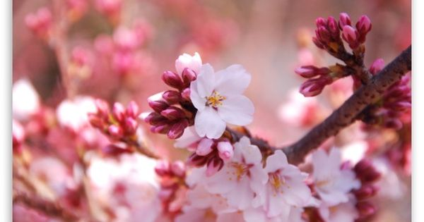 Download Cherry Blossom Buds Hd Wallpaper Spring Desktop Wallpaper Orange Flower Photos Cherry Blossom Wallpaper