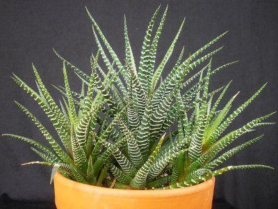 Haworthia Amenagement Paysager Succulent Plantes Araignees