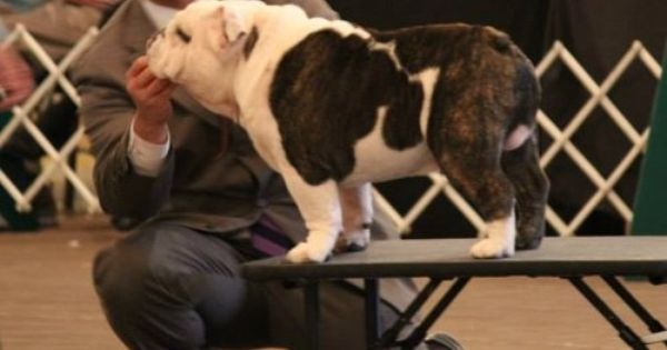 Ch Exact Classic Mosaic Thunder Bulldog Bulldog Rescue