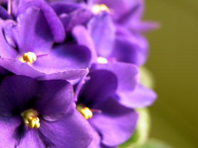 Como cuida de violeta