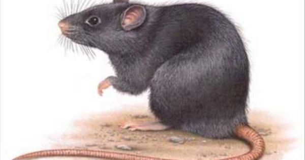 ابادة الحشرات الصراصير النمل البق الفئران من شركة مكافحة حشرات Animals Hamster Rabbit
