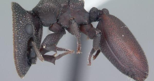 頭に最強のシールドを持つアリ タートルアント Turtle Ant 虫