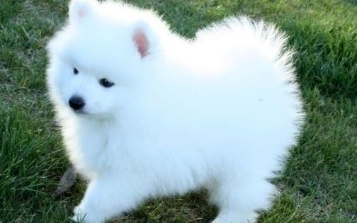 10 Cutest Small White Dog Breeds Me And My Pet Cute White Dogs White Dog Breeds Cute Small Dogs