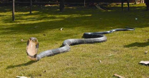 Giant King Cobra The Biggest Snake In India And One Of The Most