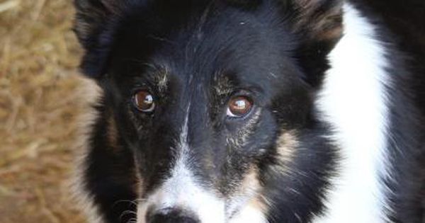 Petango Com Meet Gabe A 7 Years Border Collie Mix Available For Adoption In Colorado Springs Co Pets Service Animal Save A Dog