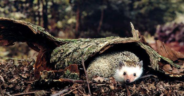 Hedgehog Wallpapers 57 Best Free Hedgehog Hd Wallpaper For Mac Animal Wallpaper Animals Wild Forest Animals