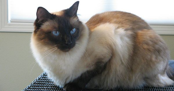 Balinese Balinese Cat Siamese Cats Blue Point Cat Facts