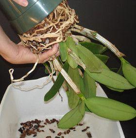 Qué Hacer Con Las Raíces Que Han Crecido Demasiado Macetas Para Orquideas Planta Orquidea Sembrar Orquideas