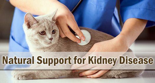 Natural Support For Feline Chronic Kidney Disease Renal Failure C Cat Care Feline Distemper Kidney Disease