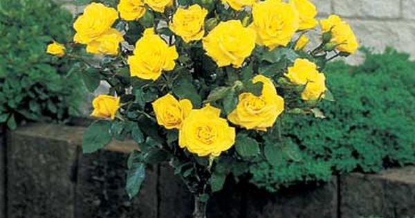 Yellow Knockout Roses For Sale The Yellow Rose Of Texas
