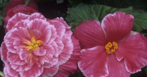 Male And Female Flowers Of The Picotee Lace Pink Variety Of Tuberous Begonias Tuberous Begonia Begonia Flowers