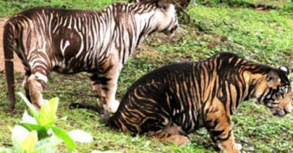 The Black Tigers On Nandankanan Melanistic Animals Unusual Animals Rare Animals