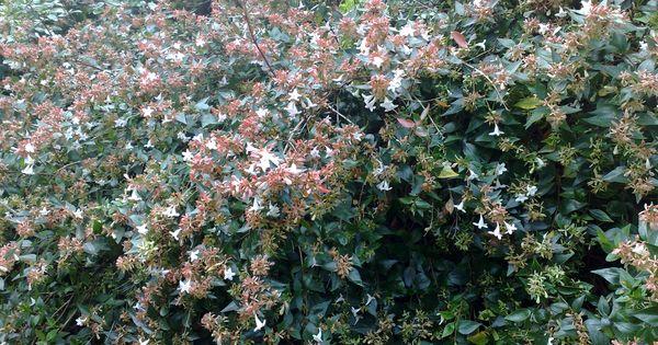 Abelia grandiflora gf sh abelia pinterest feuilles for Plantes vertes en ligne