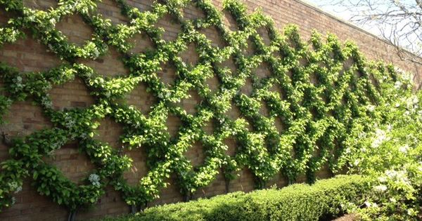 Espaliered crabapples at the Chicago Botanic Garden. I wonder if this could