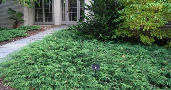 Siberian Carpet Cypress Microbiota Decussata Prefers