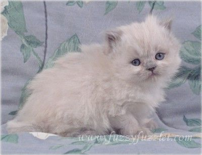 Virginia Doll Face Persian Ct Doll Face Persian Kitten For Sale In 2020 Persian Kittens For Sale Persian Kittens Kitten For Sale