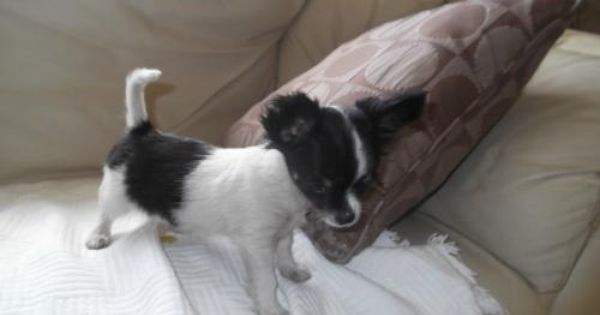 Teacup Chihuahua For Sale In Dublin 270 Donedeal Ie Chihuahua For Sale Dogs For Sale Teacup Chihuahua For Sale