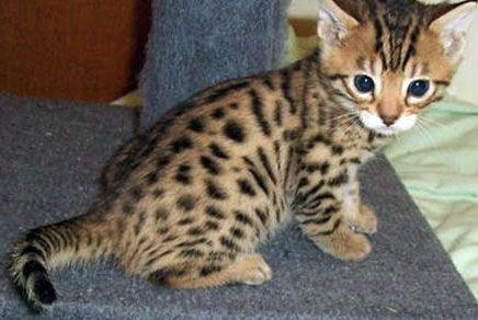 Pin By Nicki Latuputty On Animals Bengal Kitten Kittens Cutest Cats And Kittens
