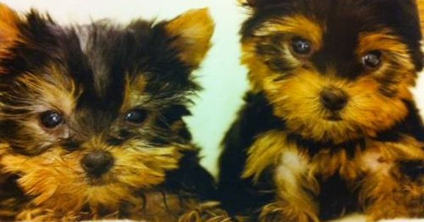 Yorkie Puppies Akc Yorshire Terrier