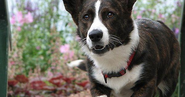 Pembroke Welsh Corgi Alert And Affectionate With Images Cardigan Welsh Corgi Puppies Corgi Dog Corgi Art
